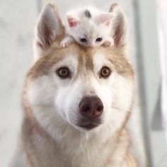 Wonderful All About The Siberian Husky Ideas. Prodigious All About The Siberian Husky Ideas. Siberian Husky Training, Siberian Husky Funny, Siberian Huskies, Baby Animals Pictures, Cute Dog Pictures, Cute Animals, Le Husky, Husky Puppy, Alaskan Husky