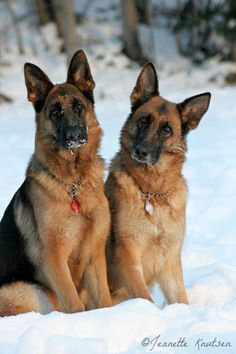 #German #Shepards