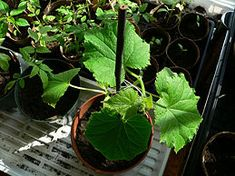 Grow Cucumbers in Pots - wikiHow