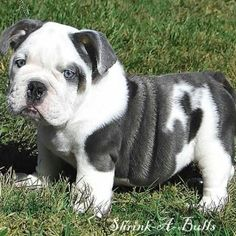 Blue English Bulldog?..in love with this dog!