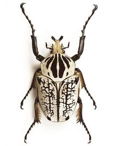 This one's pretty. Goliath beetle. Based on weight and bulk, goliath beetles are strong contenders for the title of largest insects on Earth. Native to Africa, males of these species can grow to over 4 inches, and can weigh as much as 100 grams (3.5 ounces) in their larval stage.   Though they are believed to be primarily vegetarian in the wild, they have shown a voracious appetite for protein in captivity, and captive beetles are often fed dog and cat food.