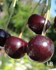 Prunus cerasus 'Chokoladnaja' Cherry