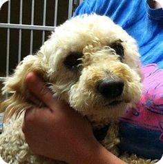 Bauxite, AR - Poodle (Miniature). Meet Peaches, a dog for adoption. http://www.adoptapet.com/pet/11062271-bauxite-arkansas-poodle-miniature
