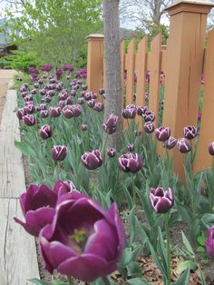 More awesome purple tulips