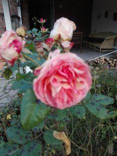 November und es blüht noch eine Rose ! 💓
