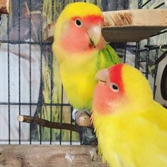 Tomris & Oburiks  Bence takip edin   #NewYear #NewProfilePicture #Tomris #Oburiks #TomrisOburiks #sevdapapağanı #cennetpapağanı #forpus #agapornis #petphotography #animalsofinstagram #birdsofinstagram #agapornisofinstagram #lovebirdsofinstagram  #lovebird #instabird #birdlovers #petbird #parrot #parekeet