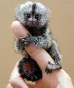 * Own a marmoset*