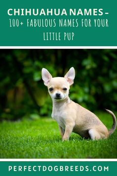 So you have found a Chihuahua to add to your family. Perfect Dog Breeds knows you want the right fabulous name for your puppy. We have made your search easier. Check out our extensive list of 100+ names for your favorite furry friend. We have both male and female names. See our categories for the best names, cutest names, Mexican and Spanish names, as well as funny names - even Beverly Hill names. You will find the right name for your dog. Download here. #chihuahuanames #dognames #chihuahua