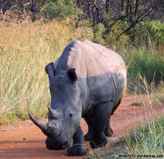 White Rhino (Ceratotherium simum) http://wildlifetv.wordpress.com/