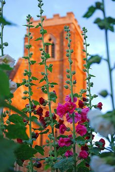 church behind tall flowers sunset time