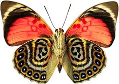 Butterfly: Enjoy the beauty of the richness of colors, and the precision of wing-pattern-design