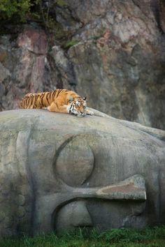 Tiger resting on Buddha head