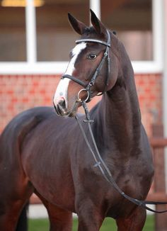 Quiver, Gelding - German Horse Center