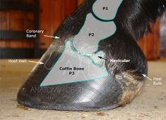 The Coffin Bone, aka: distal phalanx, third phalanx (P3), pedal bone - The coffin bone is located in the front half of the hoof capsule.