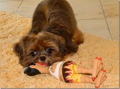 """❤ Shorkie Love ❤ Kiblet with Rubber Chicken - Note: """"MOM"""" Tatoo"""