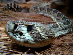 List of rattlesnake species and subspecies - Wikipedia, the free ...
