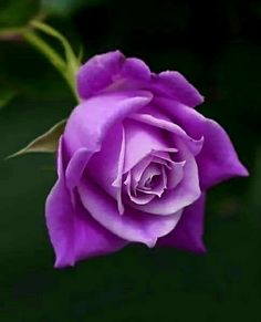 Pretty Roses, Beautiful Roses, Rose Flower Wallpaper, Shades Of Purple, Mj, Pink Roses, Favorite Color, Flowers, Plants