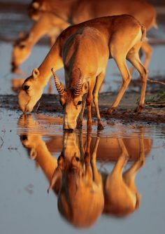 Saiga antelope. They look like a species from another time. Or another world.