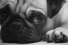Dog, Closeup, Sad