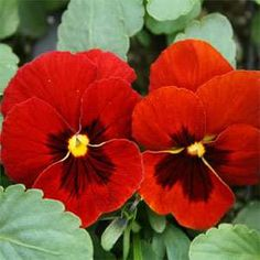 Flower Red Pansy Viola