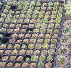 Como tener 2 mil cactus en stock con poco dinero |PFcactus > Blog de Cactus | PFC