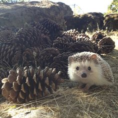 This is the hedgehog I want.