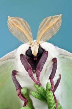 Male giant silk moths, like this Luna Moth, have very large and feathery antennae for homing in on the pheromones emitted by females. - by Colin Hutton