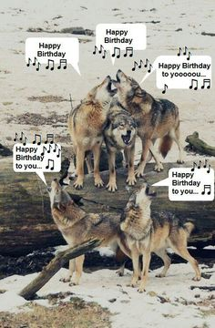 z- Wolf Pack Howling Safari Animals, Animals And Pets, Cute Animals, Wolf Photos, Wolf Pictures, Free Pictures, Wolf Spirit, Spirit Animal, Happy Birthday Wolf
