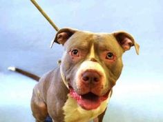 ●1•9•17 SL● NYC ACC A1100977 Check out Sharky's profile on AllPaws.com and help him get adopted! Sharky is an adorable Dog that needs a new home. https://www.allpaws.com/adopt-a-dog/american-pit-bull-terrier/5713738?social_ref=pinterest