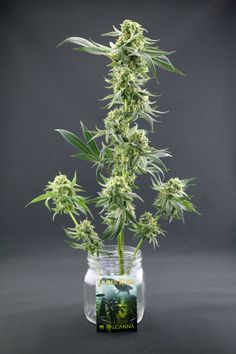 Timber Kush is one of the top marijuana strains in the Falcanna family of cannabis genetics.  Timber Kush is a heavy indica hybrid with a heavy high and taste