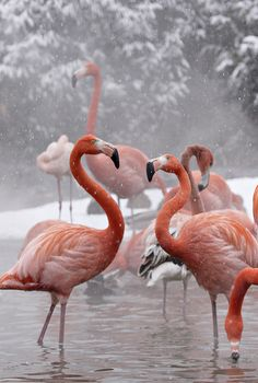 The Smithsonian's National Zoo flamingo flock enjoys their heated pond during Washington's first snowfall on Jan. 27, 2009. Credit: Mehgan Murphy/Smithsonian's National Zoo