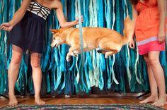 Crazytown and Kiki, the Jumping Queen #dog #shiba