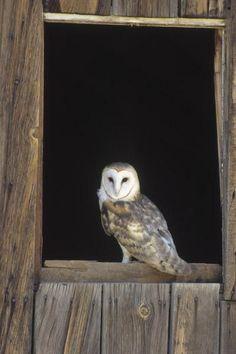 Barn Owl Perching On Barn Window, North America by Konrad Wothe