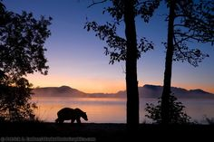 DIGITAL COMPOSITE: Brown bear walks along the shores of Naknek lake at dawn, Kejulik mountains, Katmai National Park, Alaska. Katmai National Park, National Parks, Night Of The Grizzly, Bear Species, Moving To Alaska, Bear Watercolor, Bear Images, Sunset Silhouette, Brown Bear