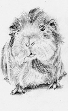 Beautiful sketch!  Cavia porcellus by RotkaeppchenGmbh