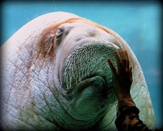 7/52 - E.T. the walrus interacts with a guest at the Point Defiance Zoo in Tacoma, Washington.