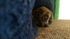 オハナ2015 Slow Loris, Monkey, Cats, Animals, Animal Pictures, Gatos, Animales, Playsuit, Animaux