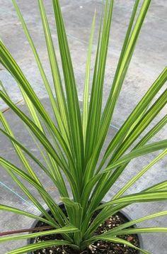 Cordyline australis 'Jive' at San Marcos Growers Plant Images, Planting Flowers, Tree Planting, Drought Tolerant Plants, Trees To Plant, Perennials, Grass, Garden Design, Landscape