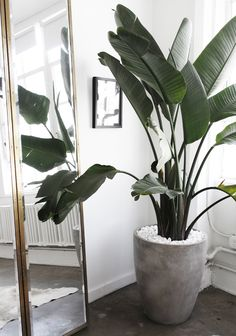 Tropische bananenplant in betonnen pot voor industriële look. // Sincerely Jules