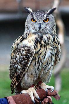 Malfoys' owl