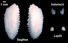 Online Otolith Lab: What is an Otolith?