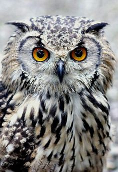 Fed onto Wild but Cute Owl Pictures :) Album in Animals Category Beautiful Owl, Animals Beautiful, Cute Animals, Baby Animals, Wild Animals, Funny Animals, Owl Photos, Owl Pictures, Birds Photos