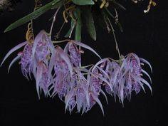Arpophyllum Alpinum | ORQUIDEAS MEXICANAS: Macroclinium pachybulbon