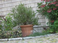 How to overwinter rosemary indoors from @Kathy Purdy
