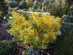 Ginkgo biloba 'Everton Broom' (common name; Maidenhair tree)
