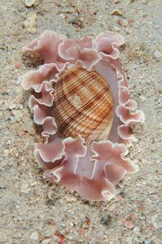 Hydatina physis, Bubble Snail, Bubble Shell, Aplustridae