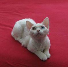 Odd eyed white Devon Rex!