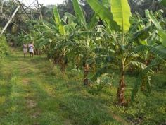 Land for sale in Pattikkad, Thrissur - SICHERMOVE.COM  2 Acres Land in Chuvannamanna, Pattikkad. NH front, 3 side road, 50 mtr from bus stop, Best land in Thirissur for residential and agricultural. Now the land is cultivated with Coconut Trees and some fruits.Well is suitated in the Land.