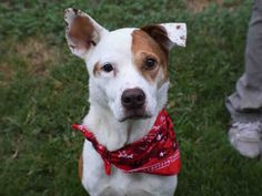 BAXTER - URGENT - BARC Animal Shelter in Houston, Texas - ADOPT OR FOSTER - 9 year old Neutered Male Harrier/Pointer Mix - at the shelter since July 27, 2016.