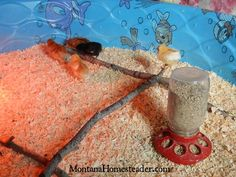 How to set up a chick brooder in a kiddie swimming pool | Montana Homesteader